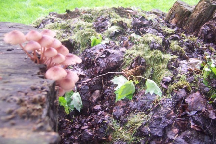 Mushrooms sprouting from the rotting log sides of my pile.