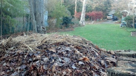 A fresh batch of seaweed, spiked by sea grass, tamps down my pile on Thanksgiving day.