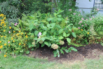 This big hydrangea will do well in this spot; later this summer I'll fill in the empty spaces with more transplanted perennials.