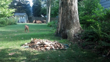 A pile of sycamore bark. Most of it gets mulched by the mower, and some I add to my pile.