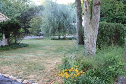 The yard in late summer. The grass needs watering, the pachysandra pruning, and perennials transplanted to more favorable places.