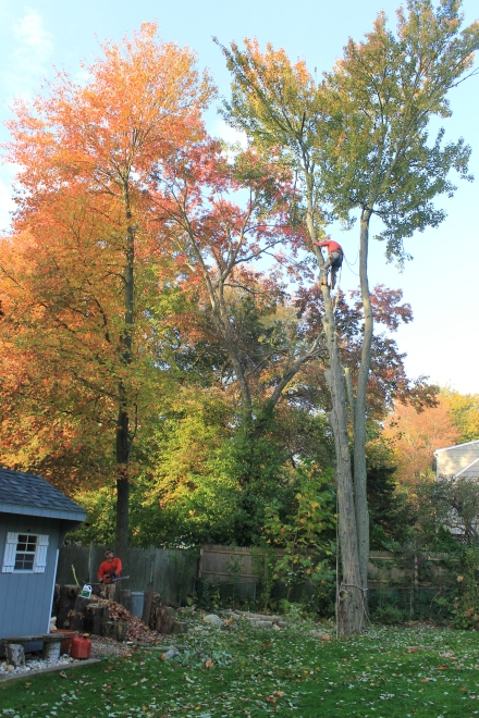 A tree crew takes down the scraggly maple that grows close to my pile.