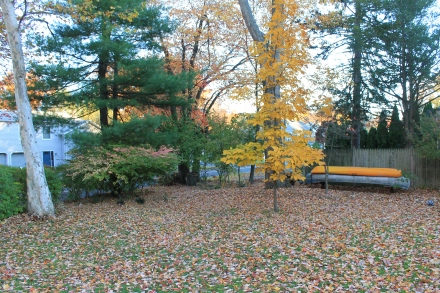 While the young hickory in the backyard clings to its shock of bright yellow leaves, enough leaves have fallen on the yard to begin fall cleanup.