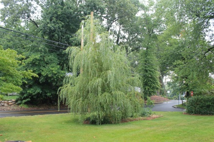 "The willow, from two summers ago, fast-growing and just now starting to ""weep."""