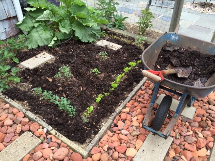 Richly alive and loaded with nutrients, this top-dressing of fresh compost will be a boon to the vegetables and herbs rising in the garden.